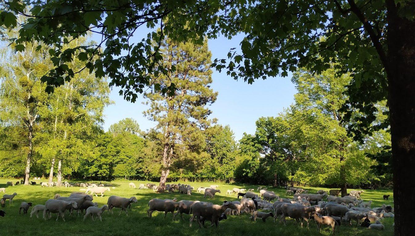 Schafherde im Englischen Garten